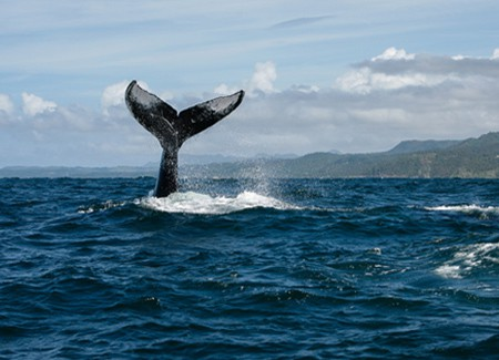 Whale Watching Tour Las Terrenas, Samana Dominican Republic.